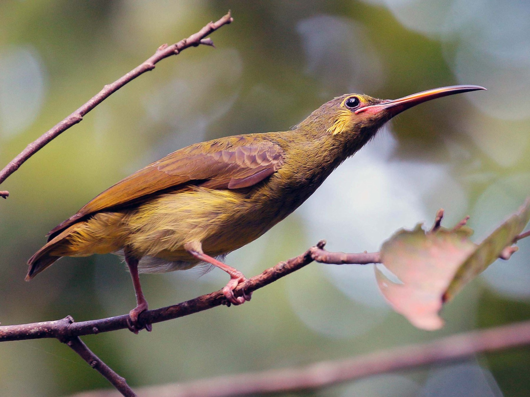 Yellow-eared Spiderhunter - Neoh Hor Kee