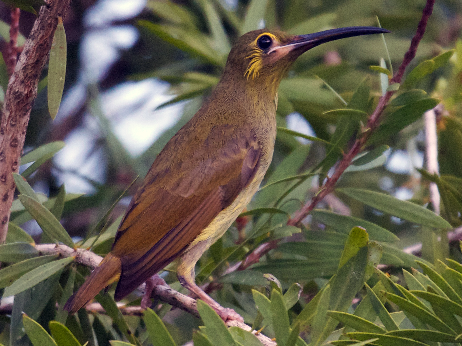 Yellow-eared Spiderhunter - Robert Tizard