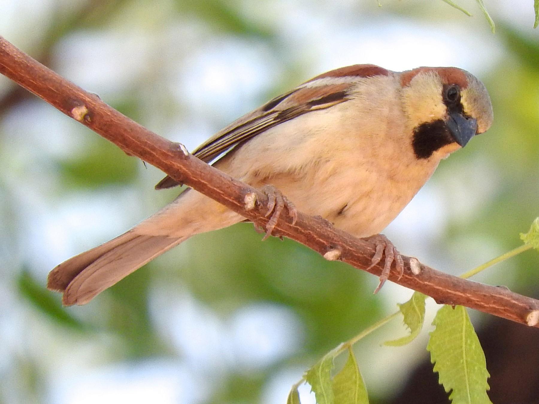 Plain-backed Sparrow - Cole Gaerber