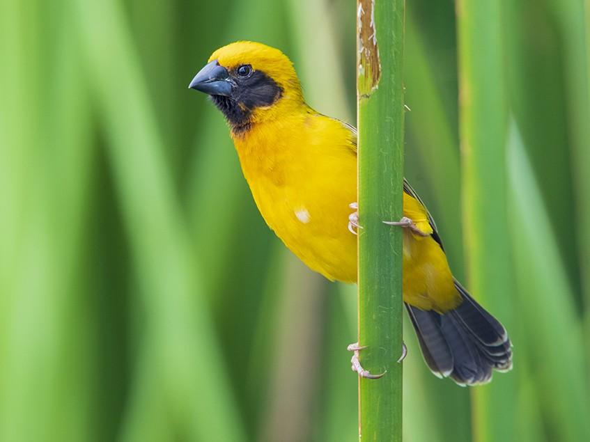 Asian Golden Weaver - Laurie Ross   Tracks Birding & Photography Tours