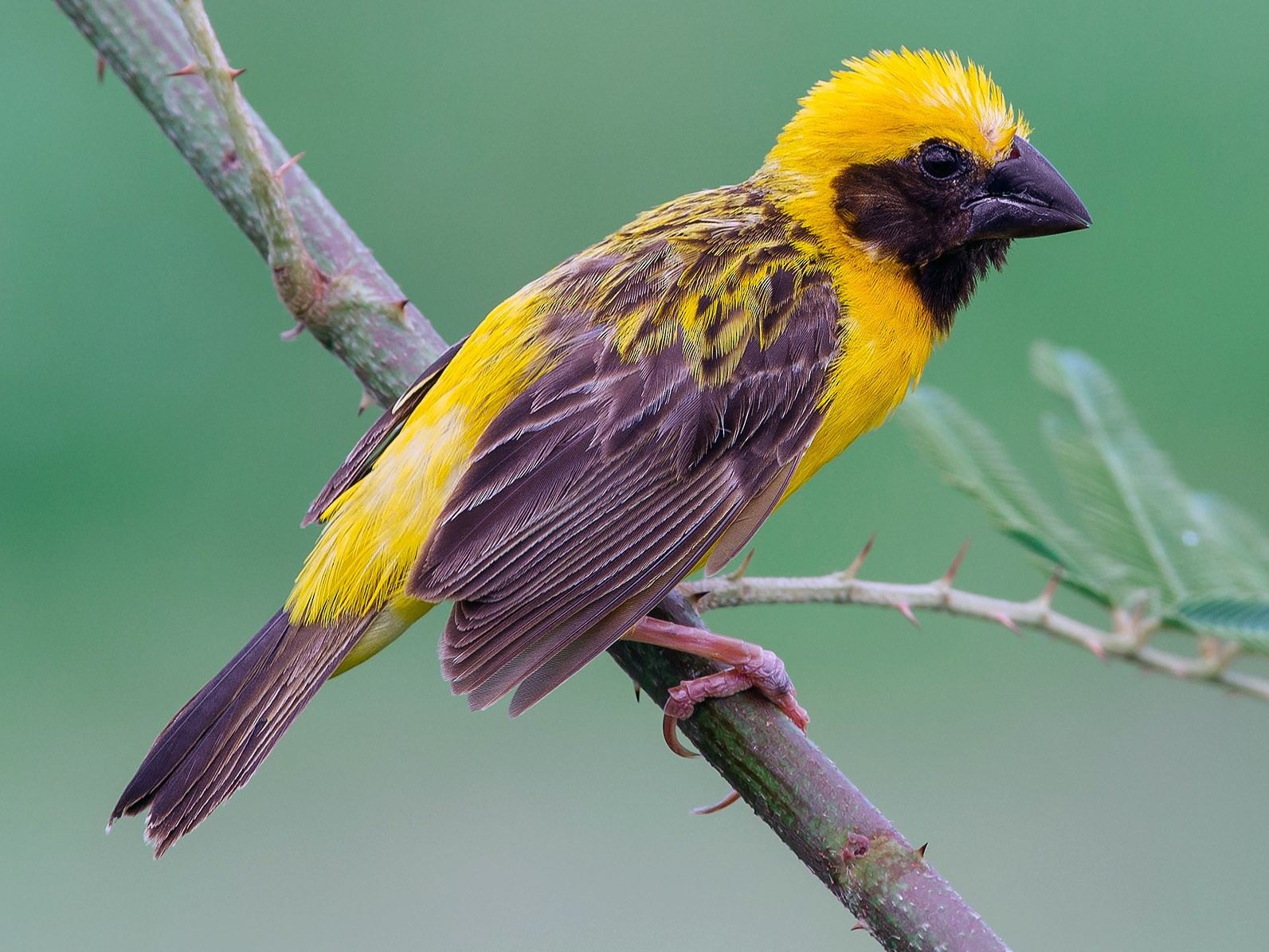 Asian Golden Weaver - Natthaphat Chotjuckdikul