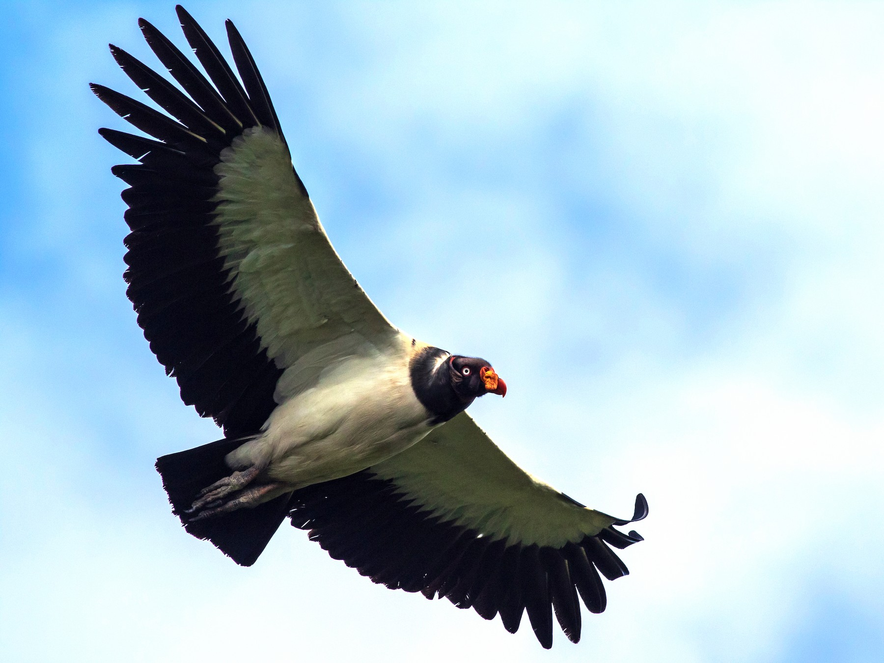 King Vulture - Francis Canto Jr