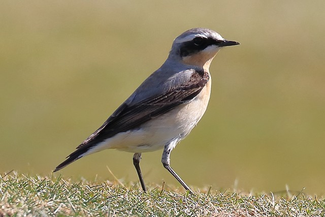© Bruce  Kerr - Northern Wheatear