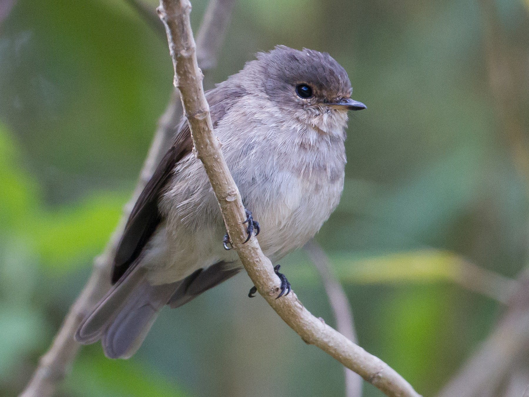 African Dusky Flycatcher - Chris Sayers