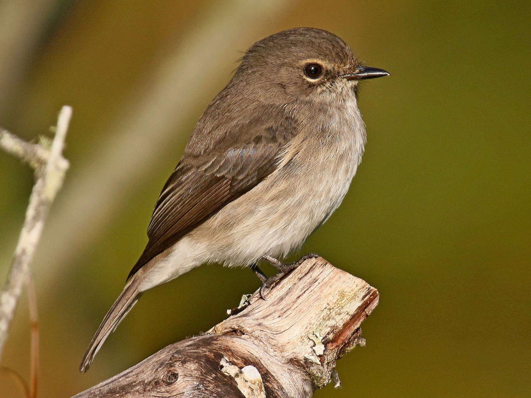 African Dusky Flycatcher - Kenneth Trease