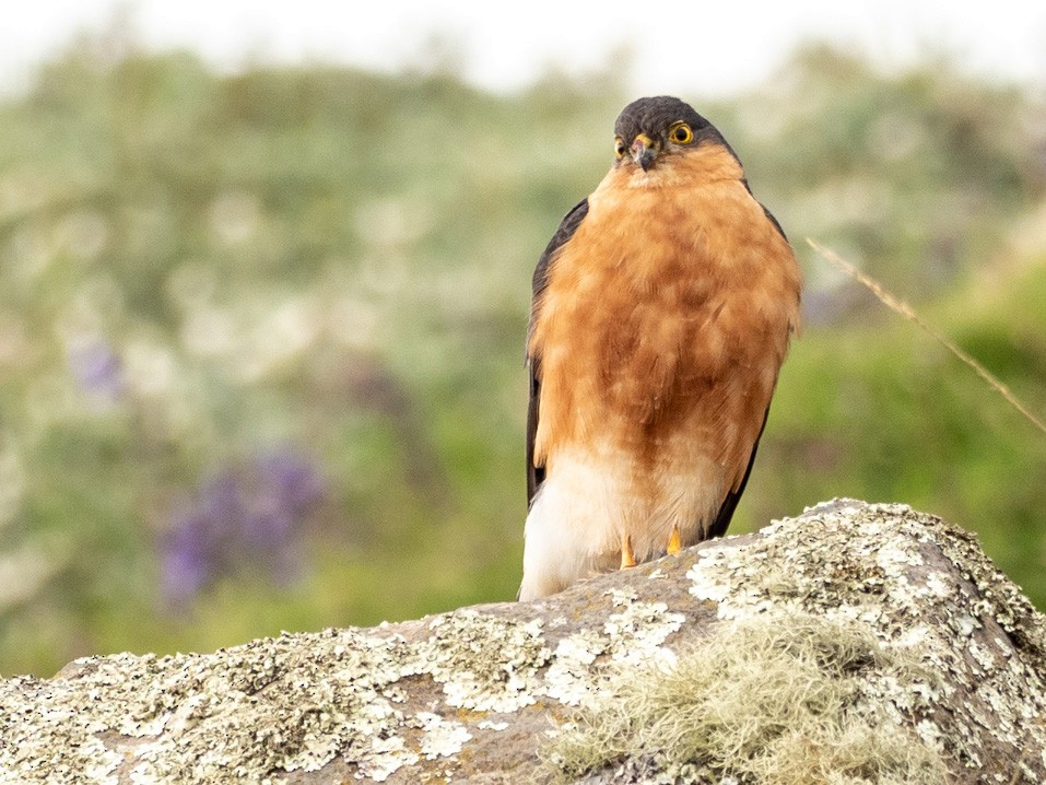 Rufous-breasted Sparrowhawk - Forest Jarvis