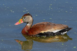Black-bellied Whistling-Duck (fulgens)