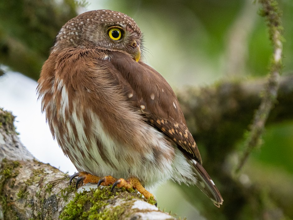Central American Pygmy-Owl - Chris Fischer