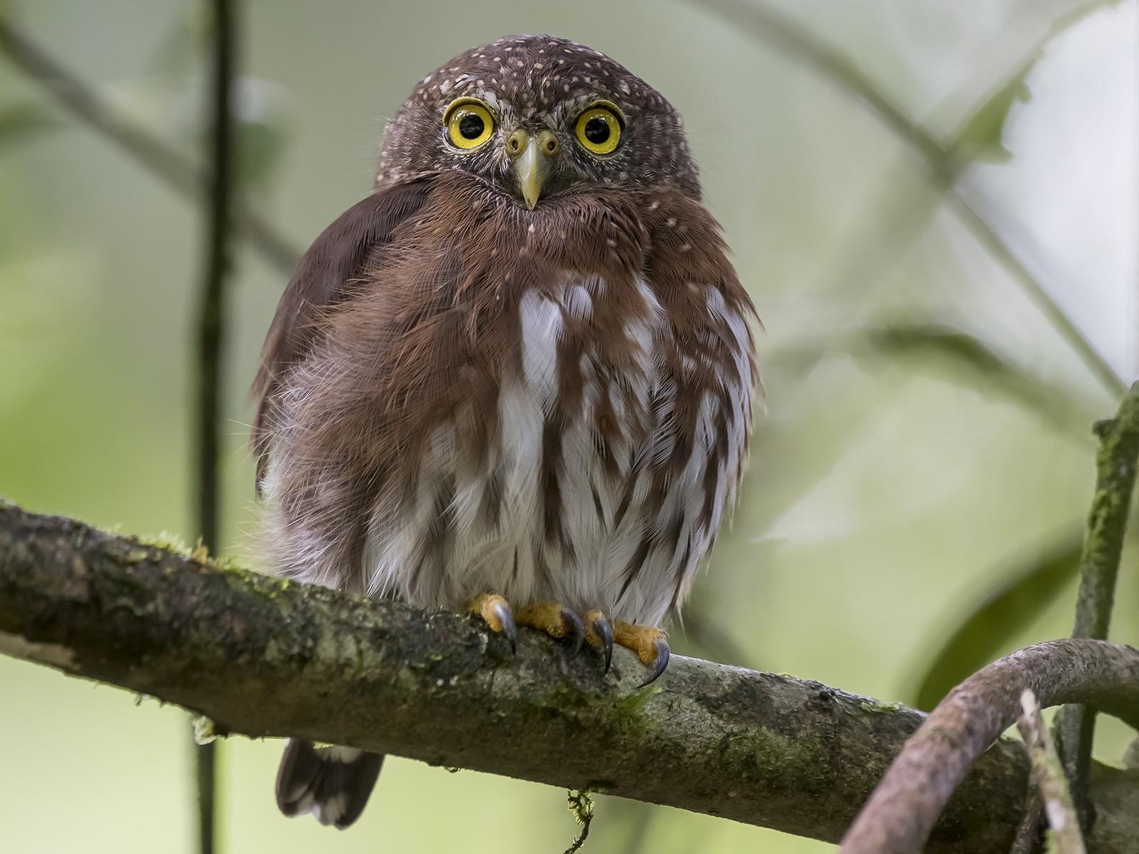 Central American Pygmy-Owl - fernando Burgalin Sequeria
