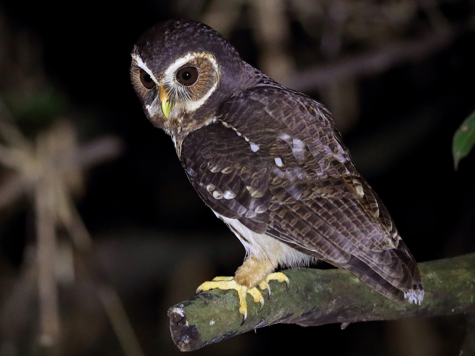 Mottled Owl - Jon Irvine