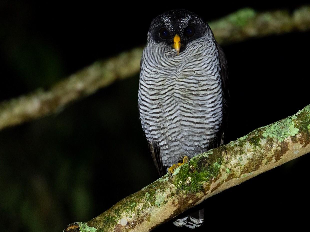 Black-and-white Owl - David Brito