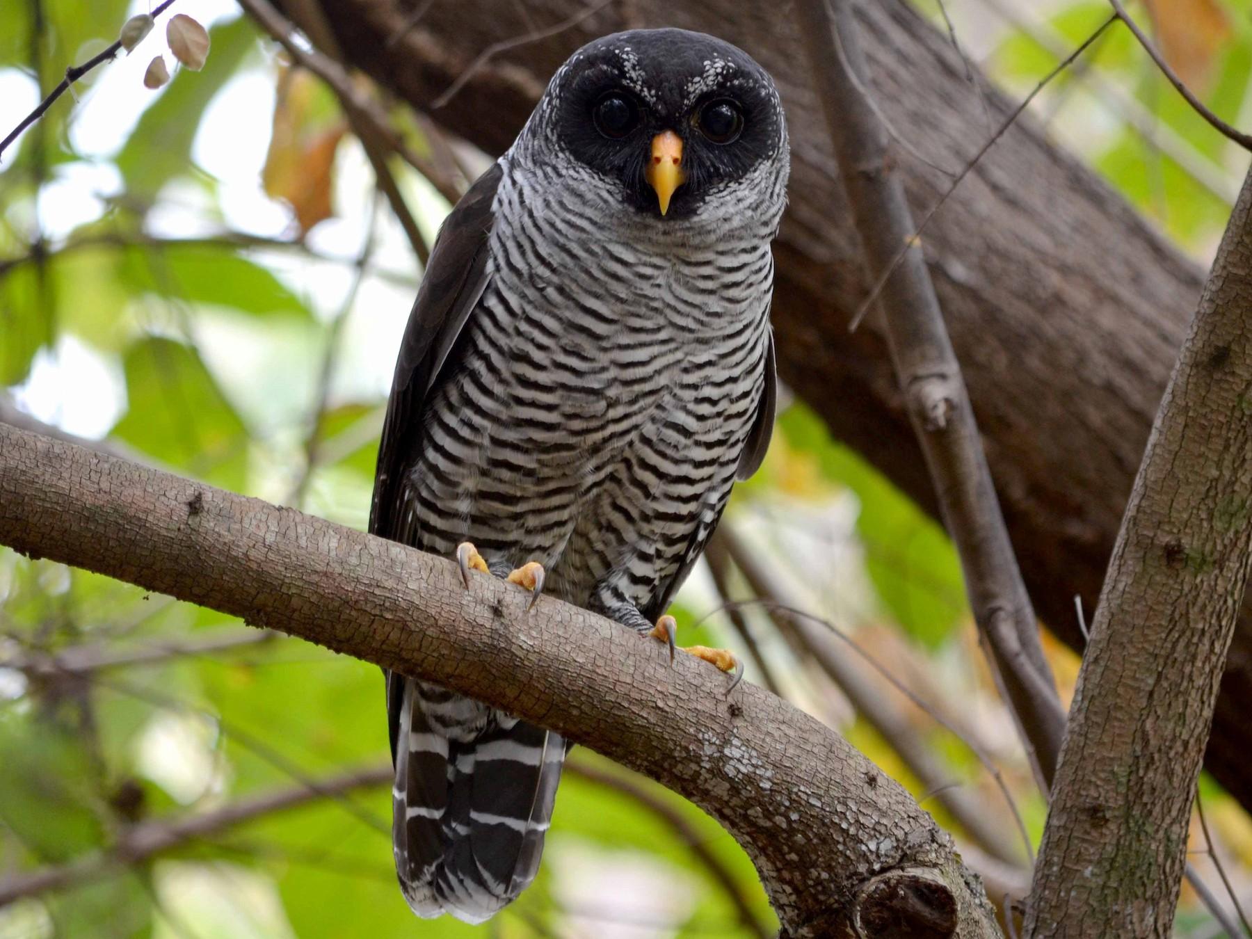 Black-and-white Owl - Leonardo Ordóñez-Delgado