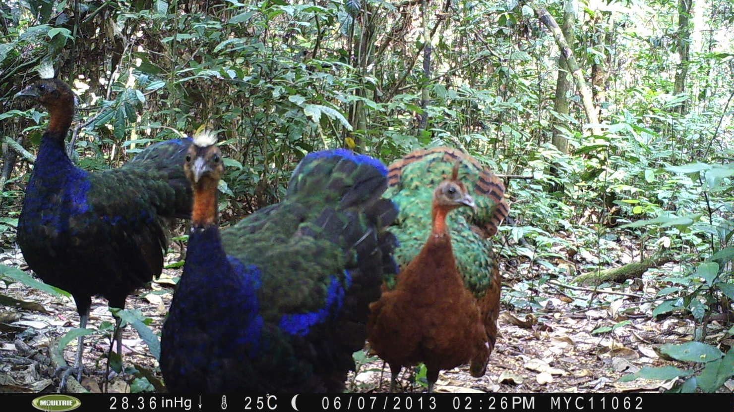 Congo Peacock - TL2 Project