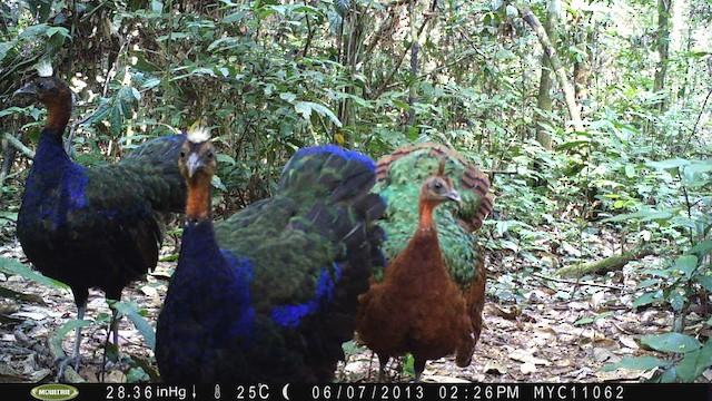 Congo Peacock