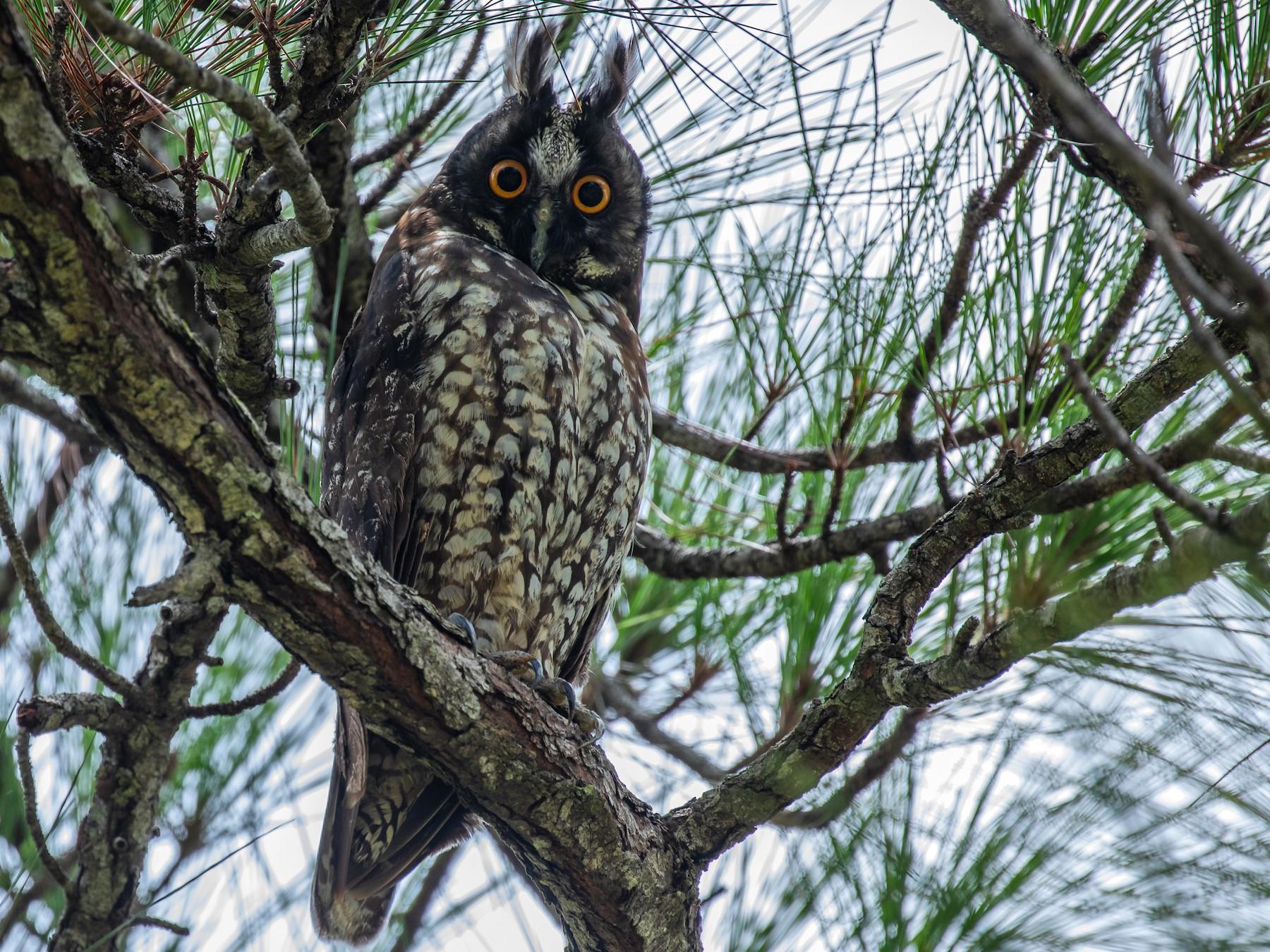 Stygian Owl - Aaron Juan