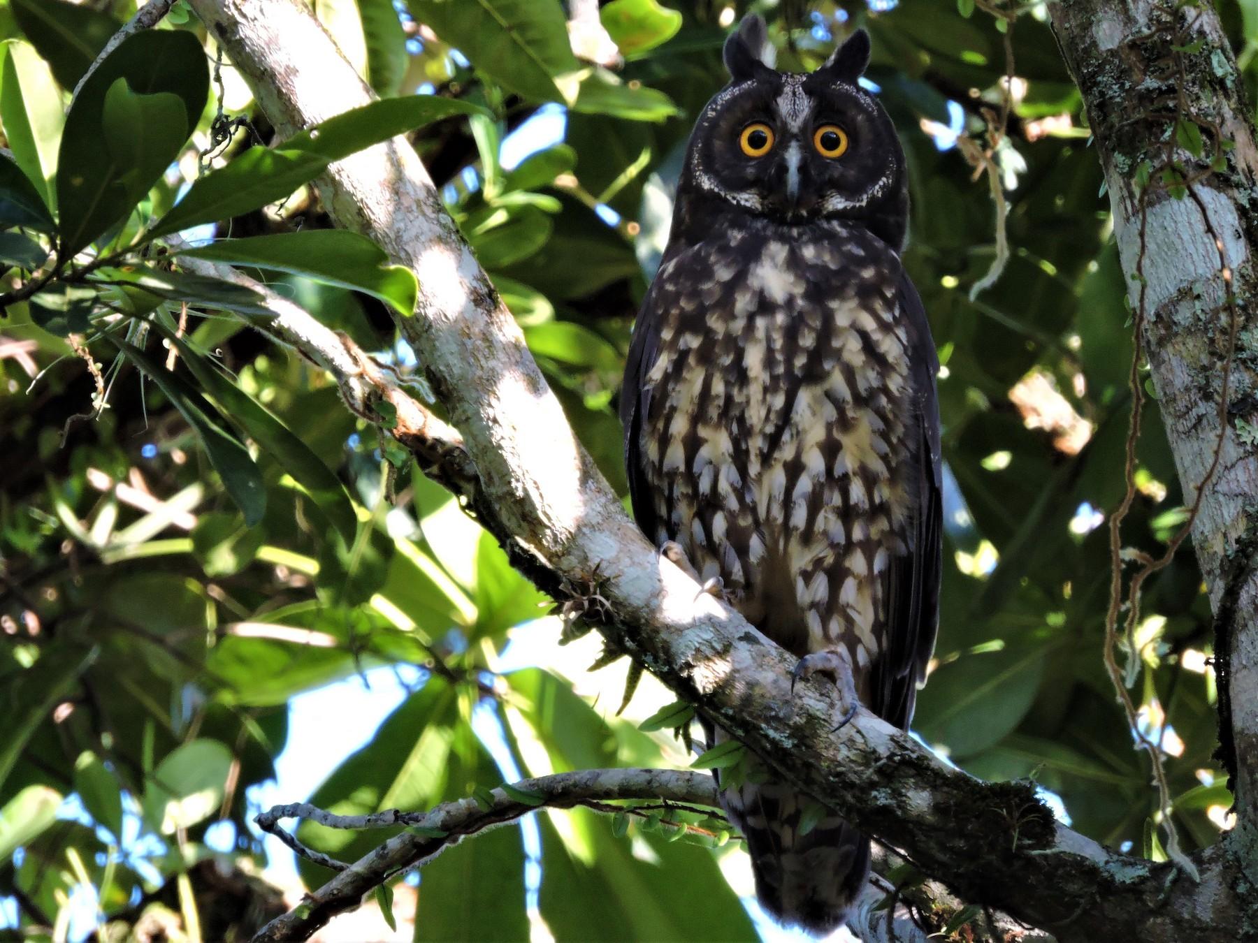 Stygian Owl - Fabio Barata