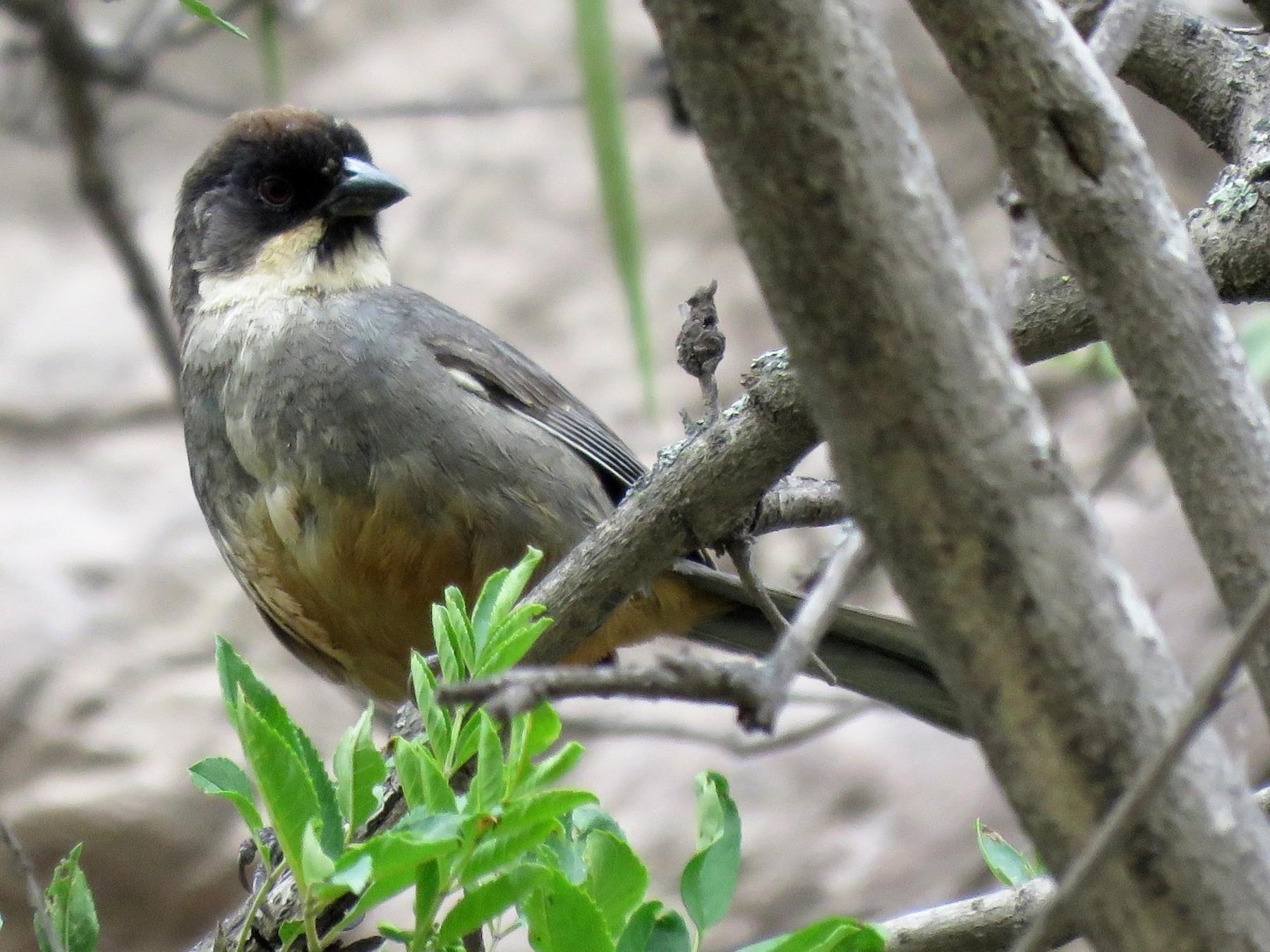 Rusty-bellied Brushfinch - Fernando Angulo - CORBIDI