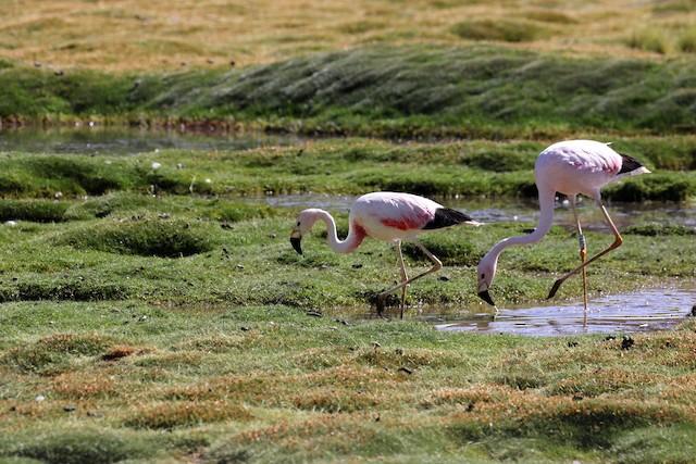 Example habitat: Antofagasta, Chile.