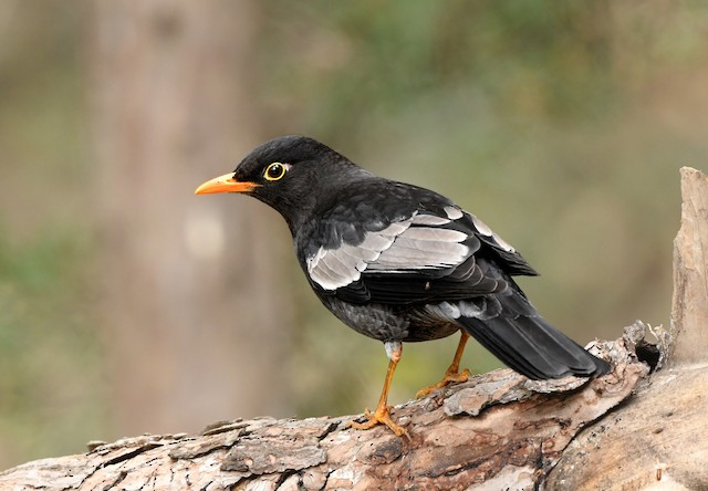 Gray-winged Blackbird