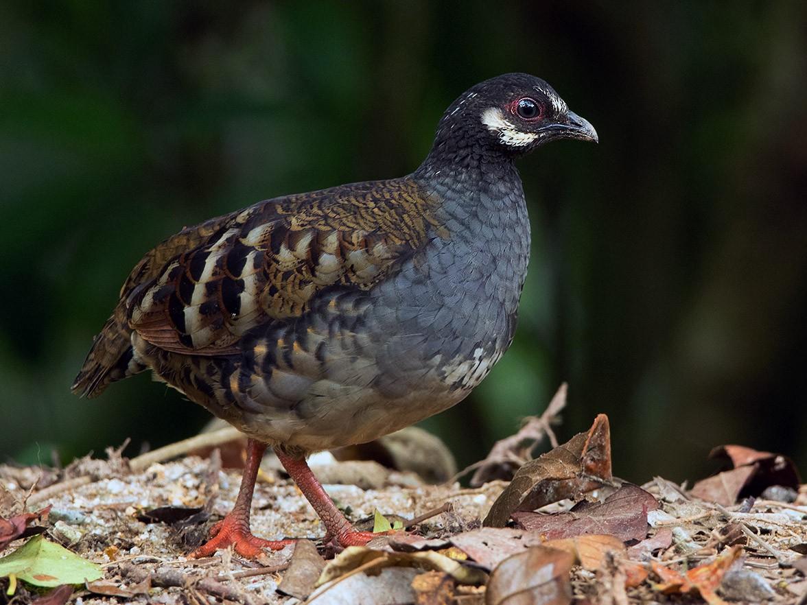 Malaysian Partridge - Ayuwat Jearwattanakanok