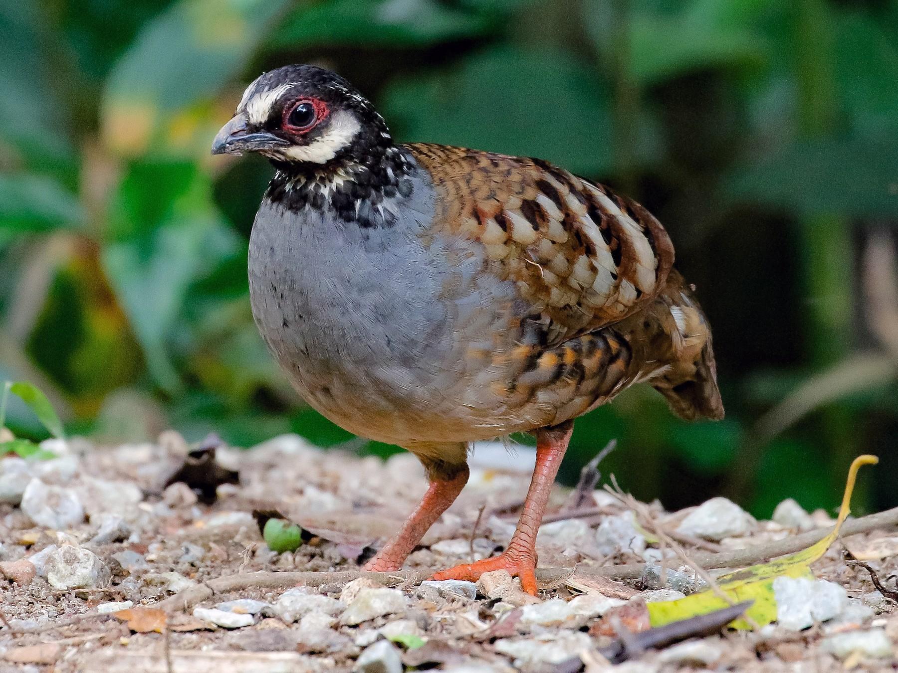 Malaysian Partridge - Neoh Hor Kee