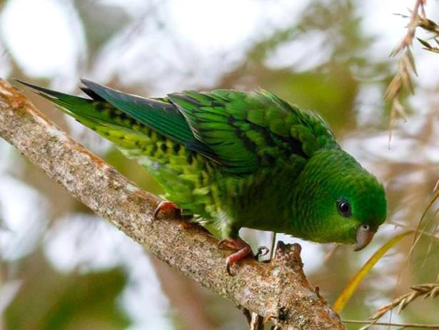 Barred Parakeet - Daniel Orozco Montoya