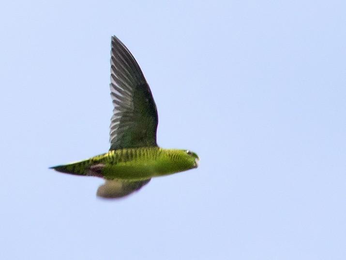 Barred Parakeet - Lars Petersson