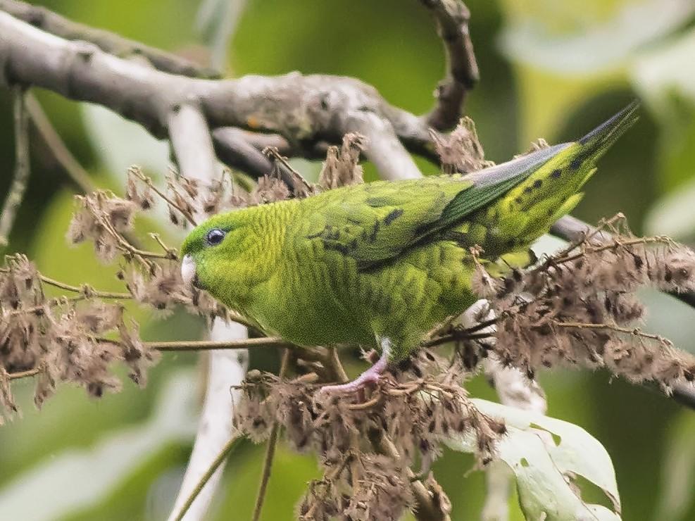 Barred Parakeet - Guillermo  Saborío Vega