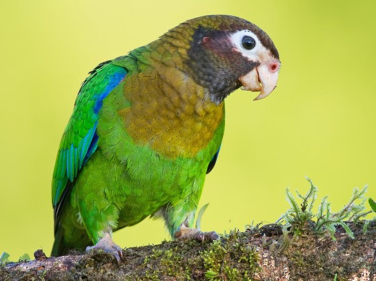 Brown-hooded Parrot - Paul Cools
