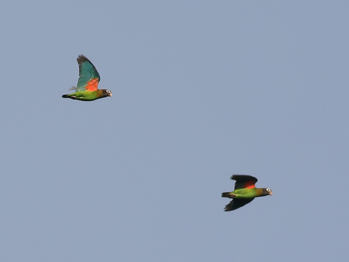 Brown-hooded Parrot - Graham Montgomery