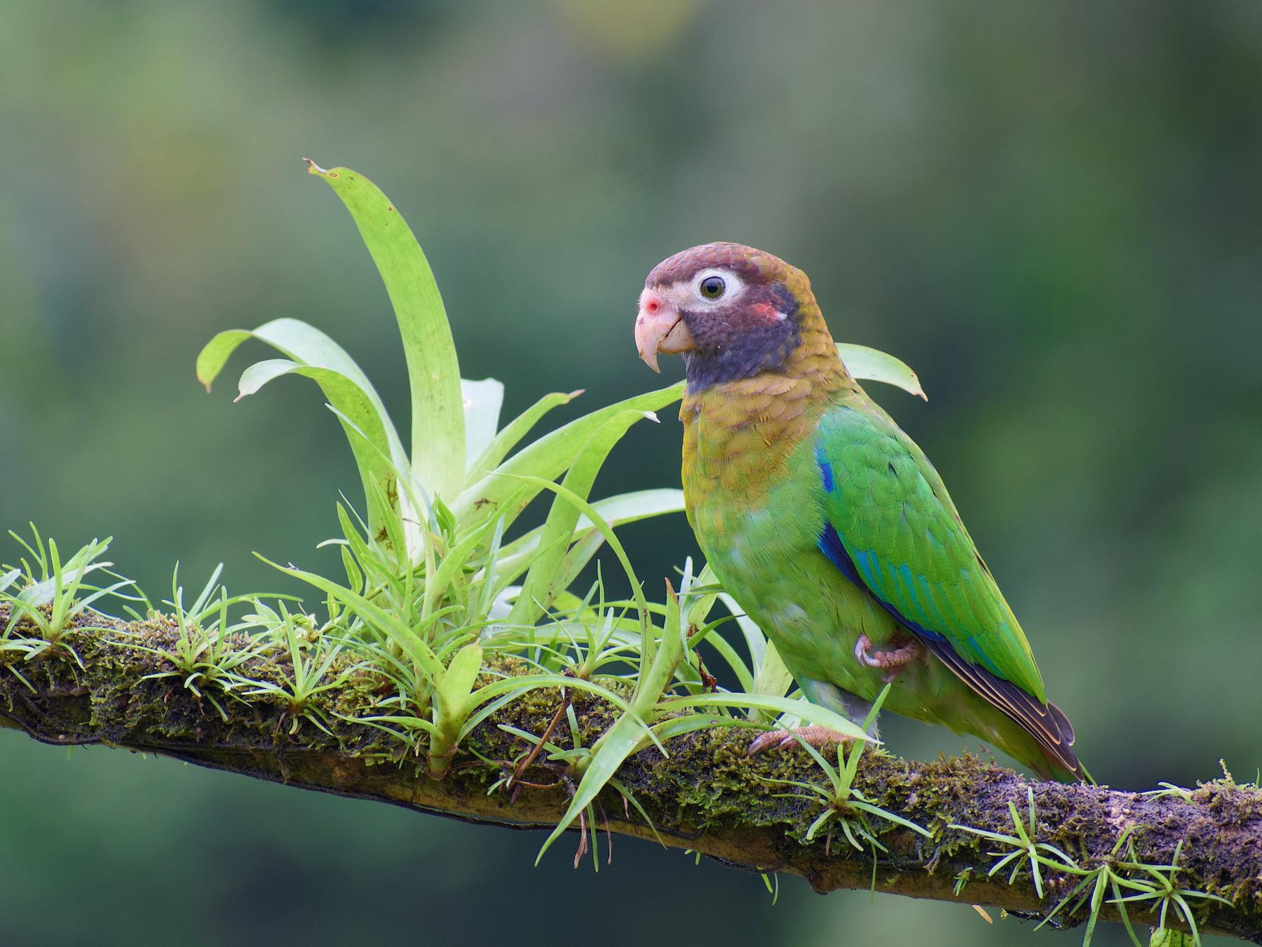 Brown-hooded Parrot - Chistopher Becerra