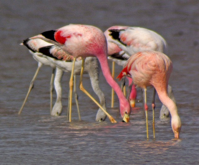 Chilean Flamingo (front right) and Andean Flamingo (front center).
