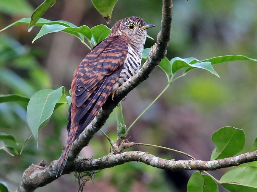 Sunda Cuckoo - Lars Petersson