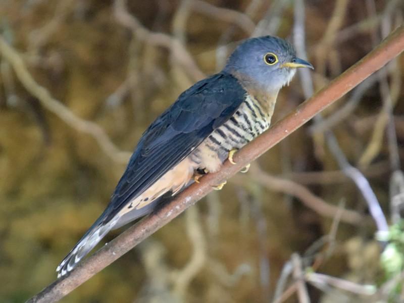 Sunda Cuckoo - Kok Hui Tan