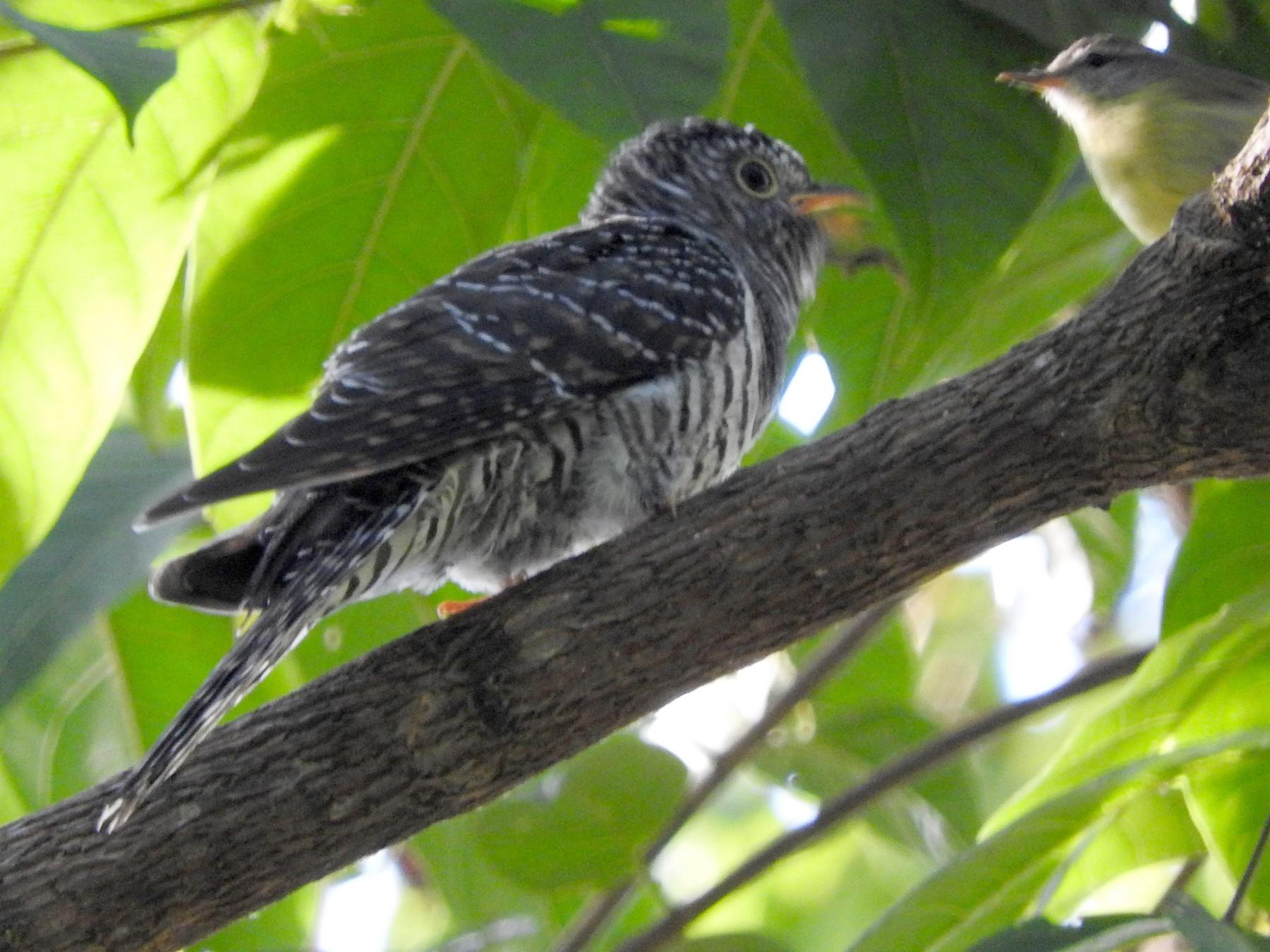 Sunda Cuckoo - Sandy Gayasih