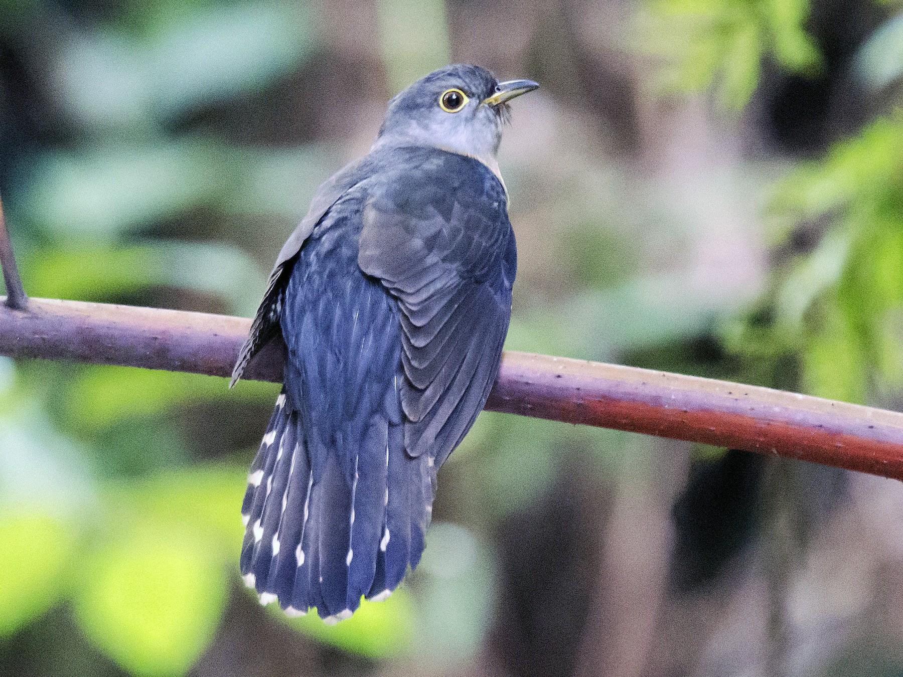 Sunda Cuckoo - Ashraf Anuar Zaini