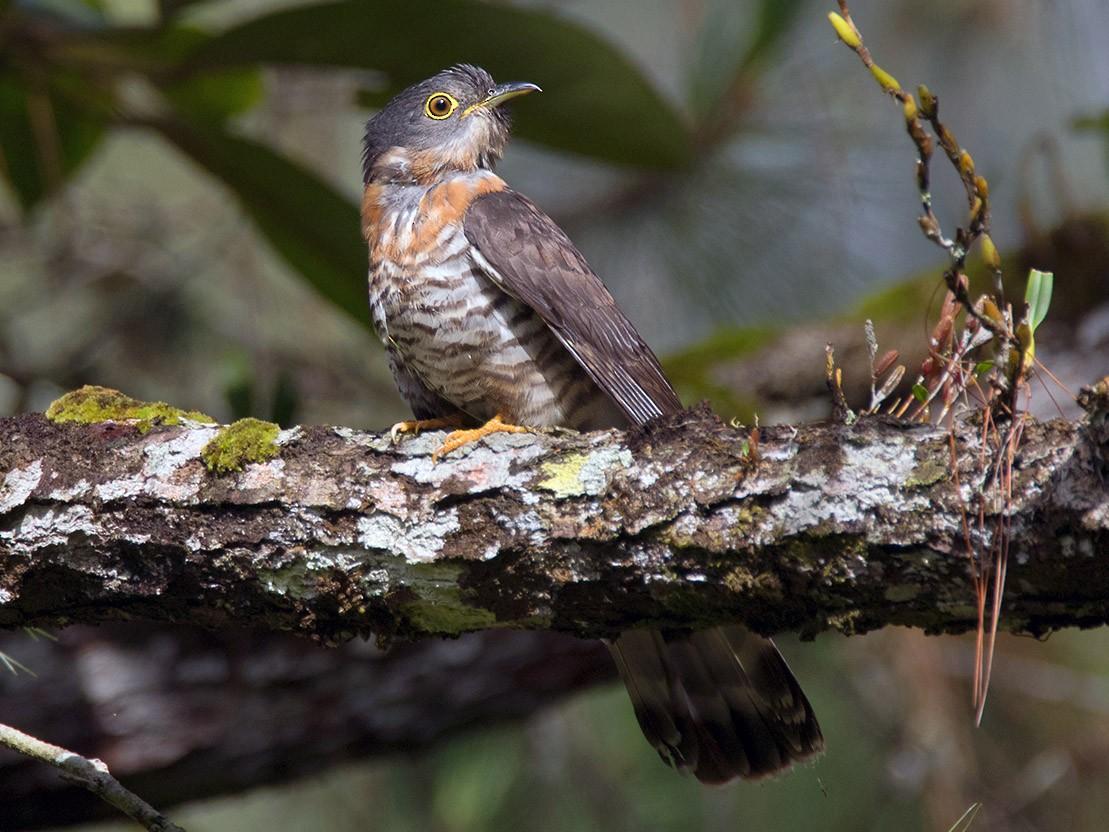 Dark Hawk-Cuckoo - Ayuwat Jearwattanakanok