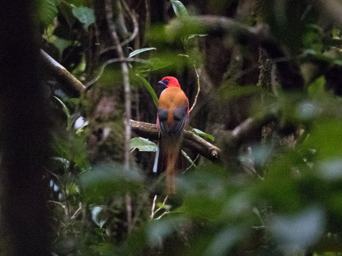 Whitehead's Trogon - Forest Jarvis