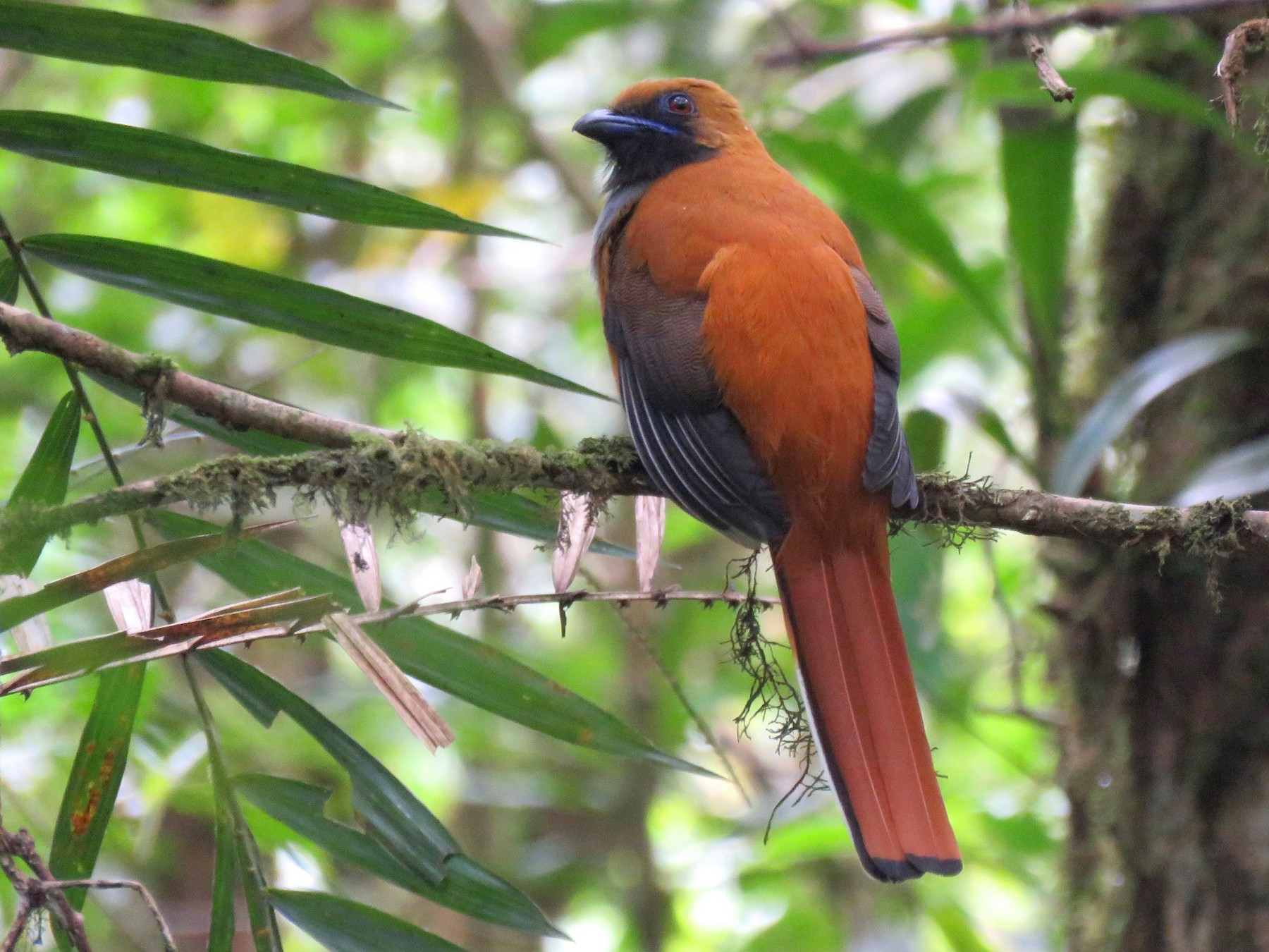 Whitehead's Trogon - Timothy Forrester