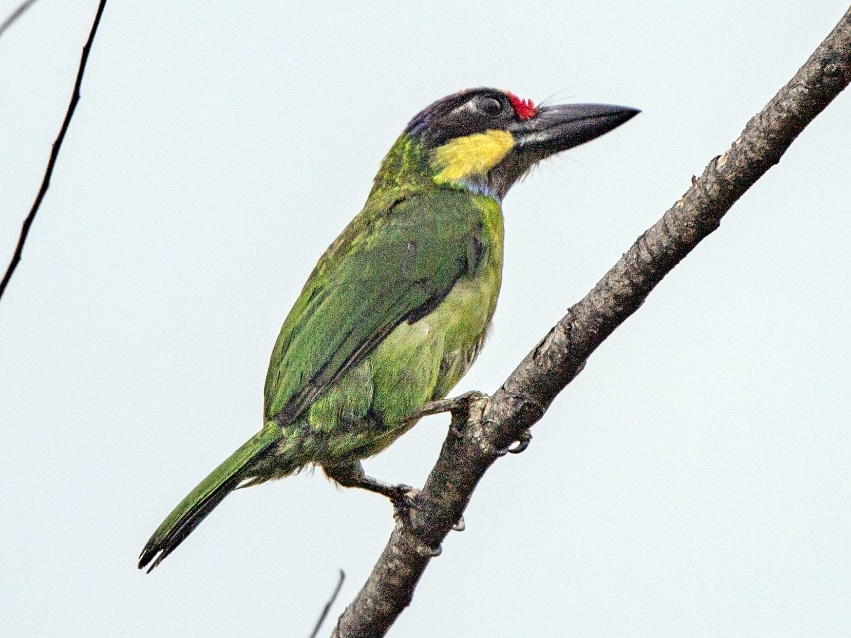 Gold-whiskered Barbet (Gold-whiskered) - jimmy Yao