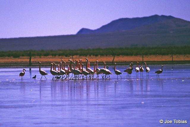 Andean Flamingo locomotory display.
