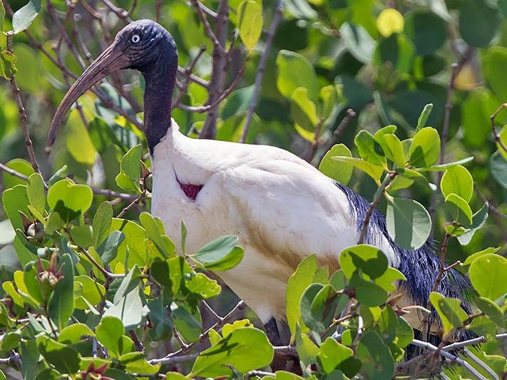 Madagascar Sacred Ibis - Arthur Grosset