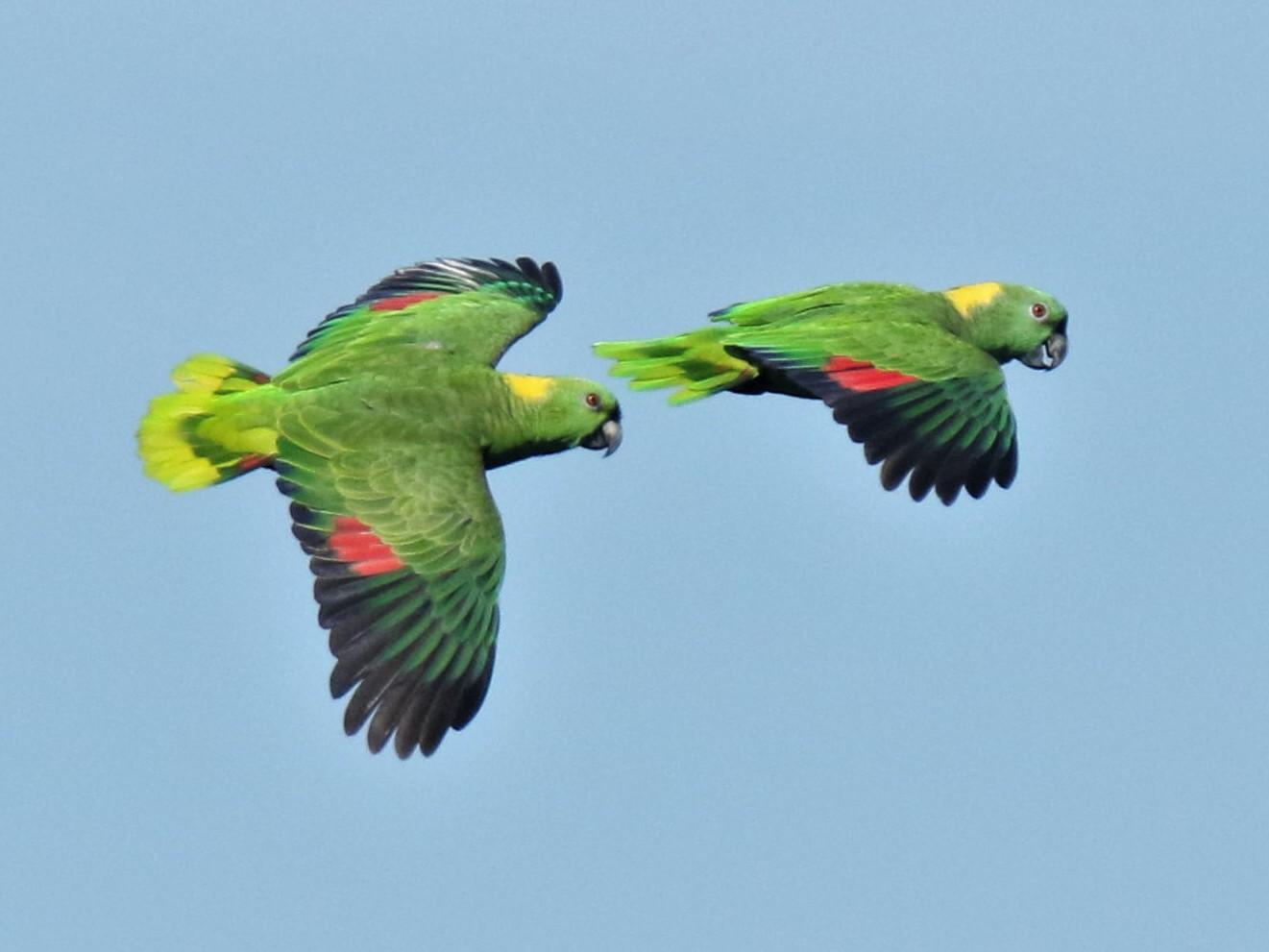 Yellow-naped Parrot - Josue  de León Lux (Birding Guide) josuedeleonlux@gmail.com +502 3068 8988