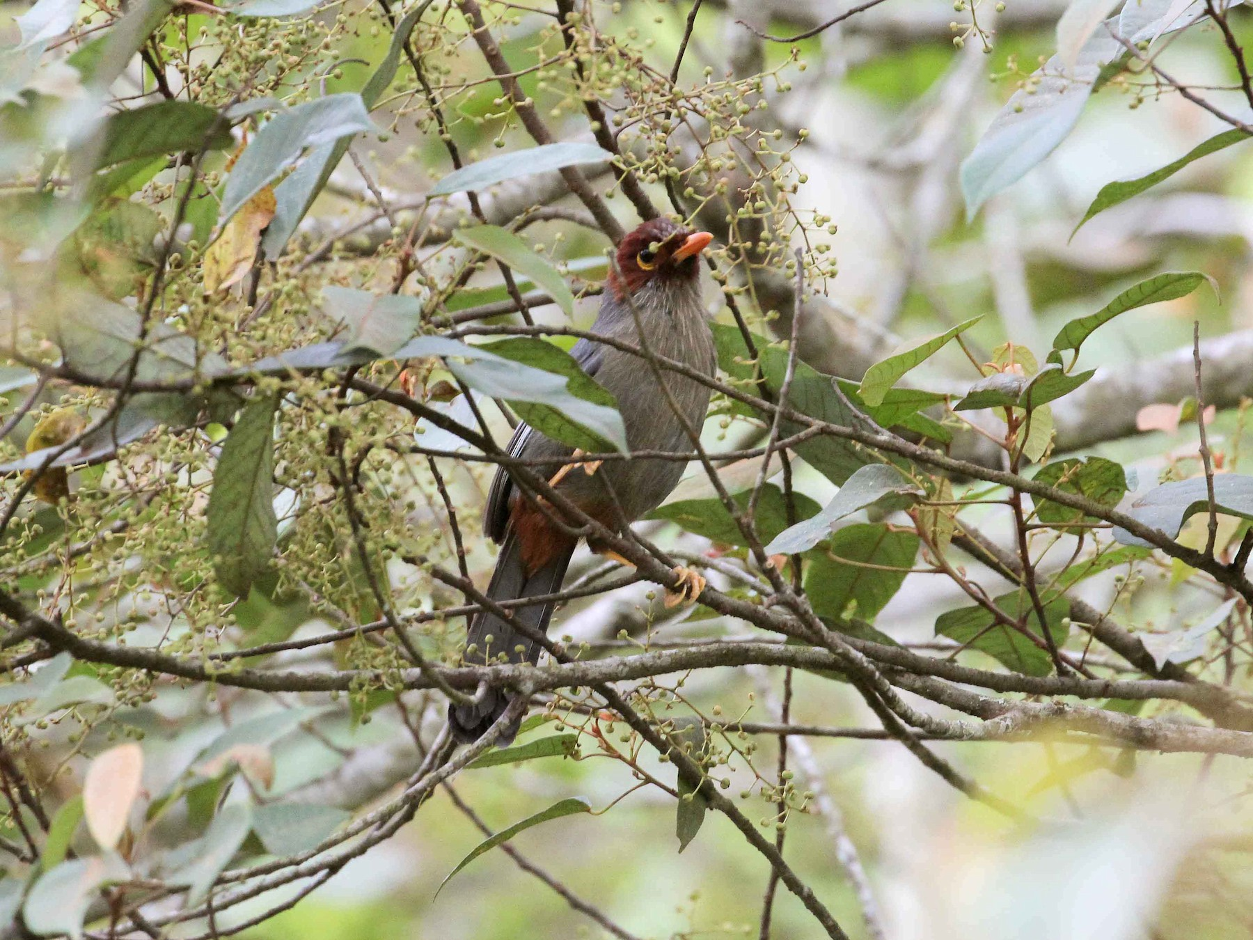 Chestnut-hooded Laughingthrush - Neoh Hor Kee