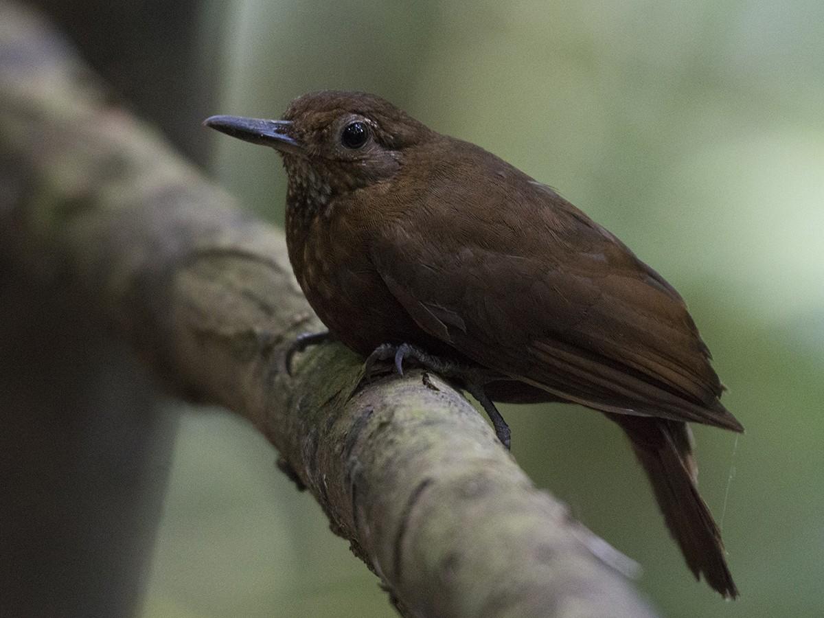 Scaly-throated Leaftosser - Carlos Echeverría