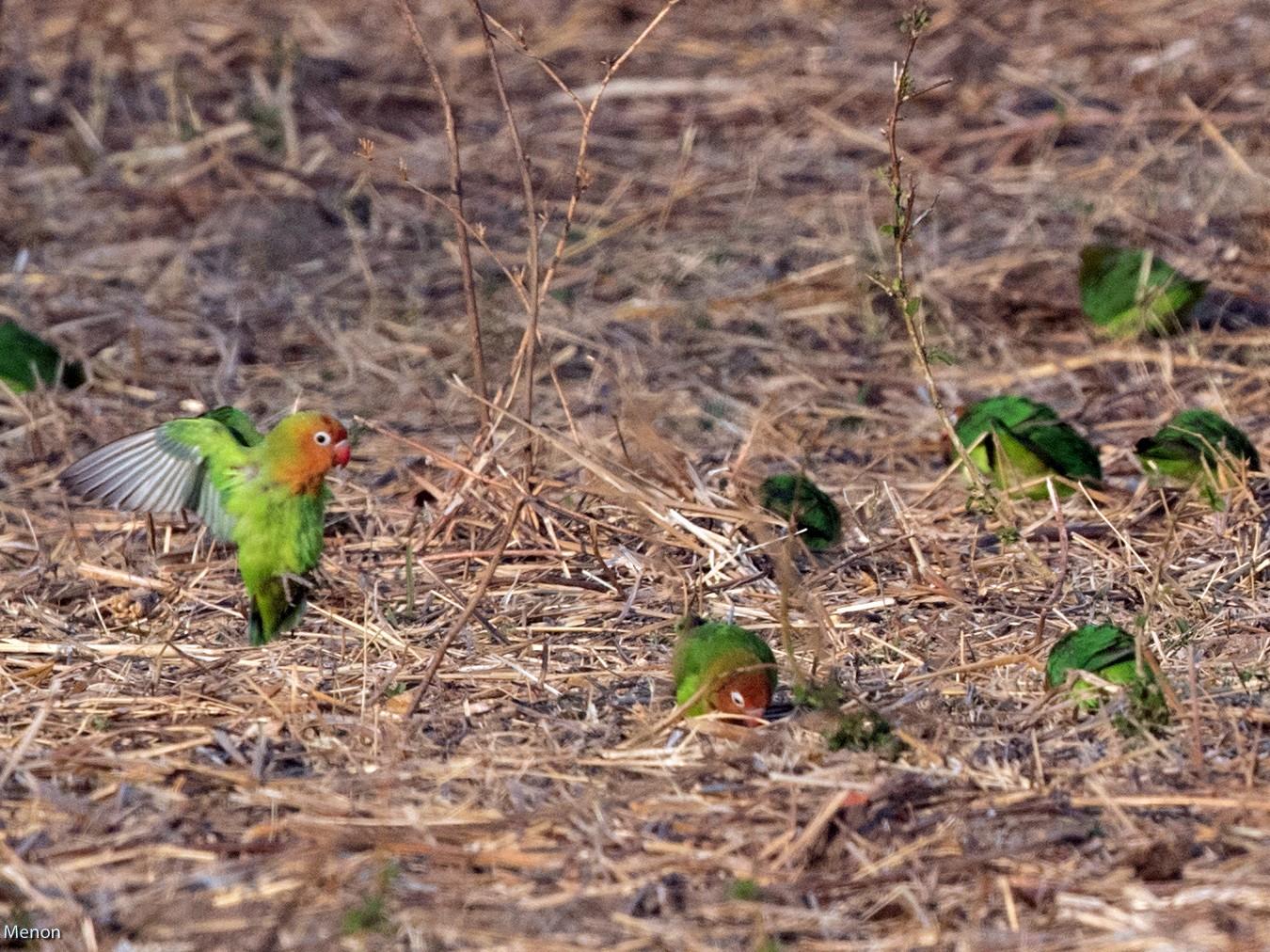 Lilian's Lovebird - Vivek Menon