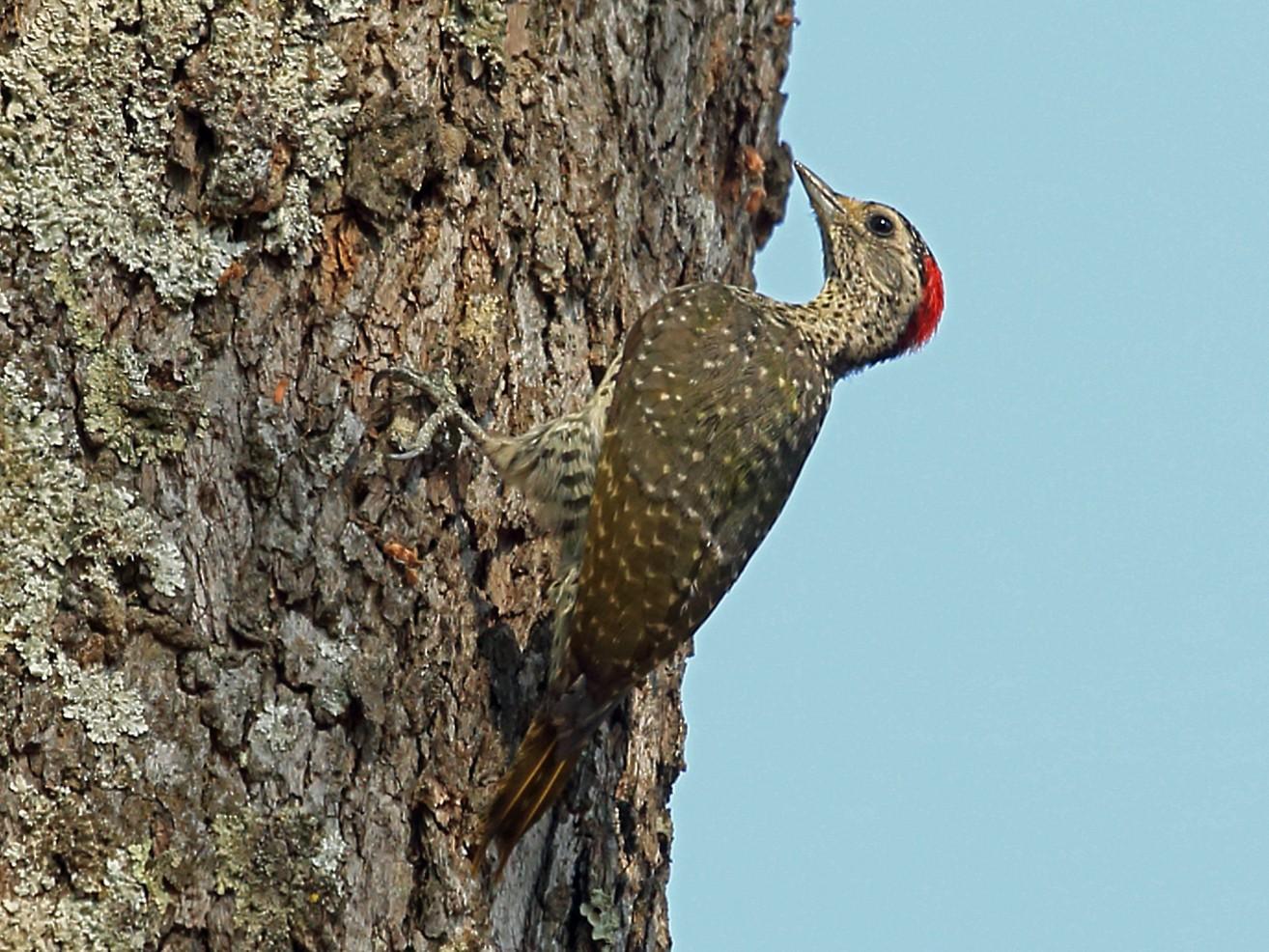 Green-backed Woodpecker - Nigel Voaden