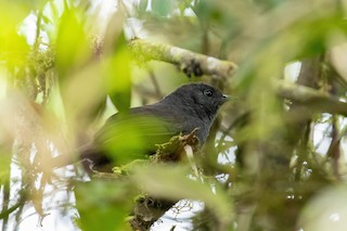 - Rufous-vented Tapaculo