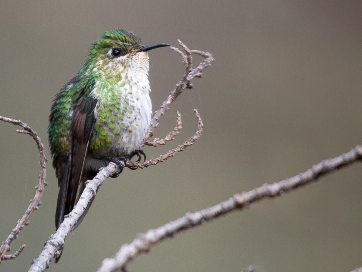 Black-backed Thornbill - Rob Felix