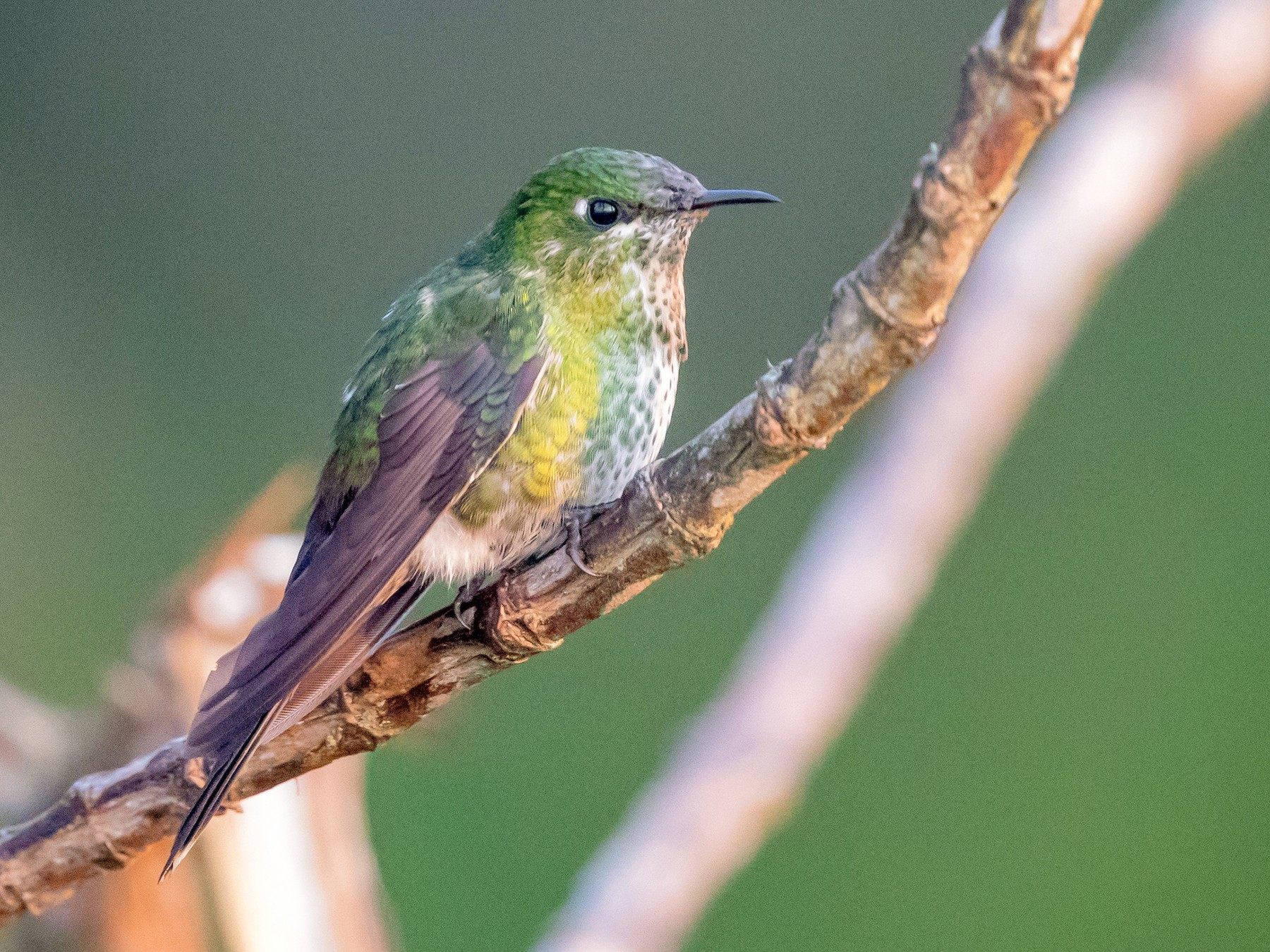 Black-backed Thornbill - Cory Gregory